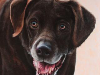 Portrait of a labrador dog